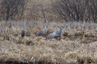 Sandhill cranes, mid-March