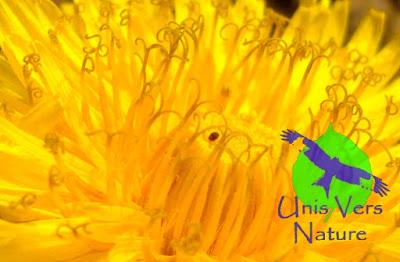 Cuisine pissenlit, identification, fleurs, ligules, stage plantes sauvages Jura