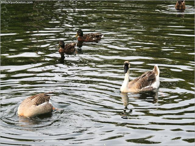 Patos en las Islas de Toronto