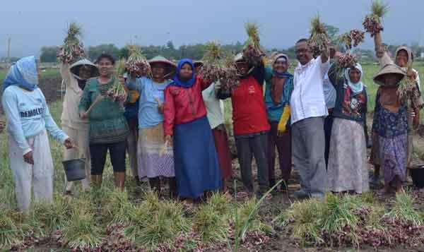 petani cirebon mengeluh harga  bawang murah