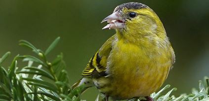 Tips Menjaga Kesehatan Burung Kenari Agar Tetap Fit