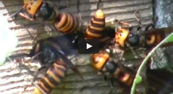 Ιαπωνία: «έμεινε» μόλις είδε αυτές τις τεράστιες σφήκες να τρώνε ζωντανό το μελίσσι του...