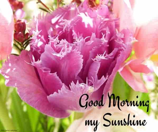 good morning my sunshine pic with pink flower
