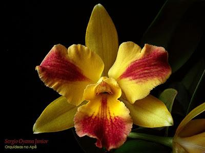Potinara Burana Beauty 'Burana' Orchid