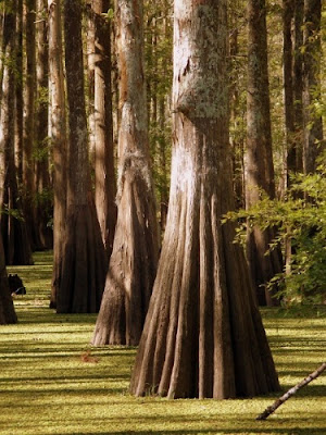 So, a cypress forest was discovered off the Alabama coast. Huh? How did that get there?