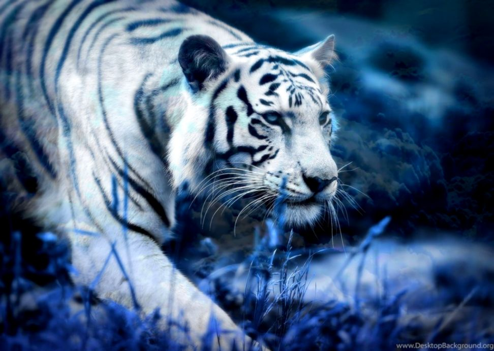 save The Tiger wallpaper x Wallpapers HD Desktop and