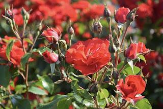arti bunga mawar berduri