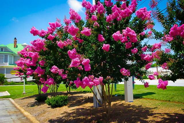 tanaman hias bunga pink crape myrtle