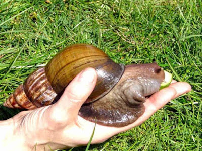 INFORMATIONS YOU NEED TO KNOW ABOUT SNAIL FARMING,