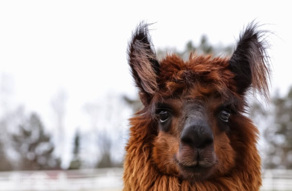 PauMau blogi maaseutu countryside finland suomi alpaca