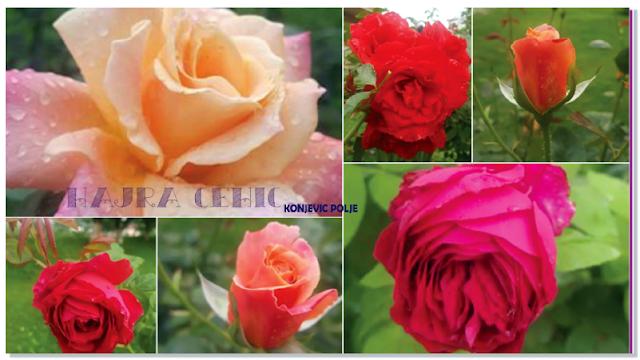 Cvijetovi ruže