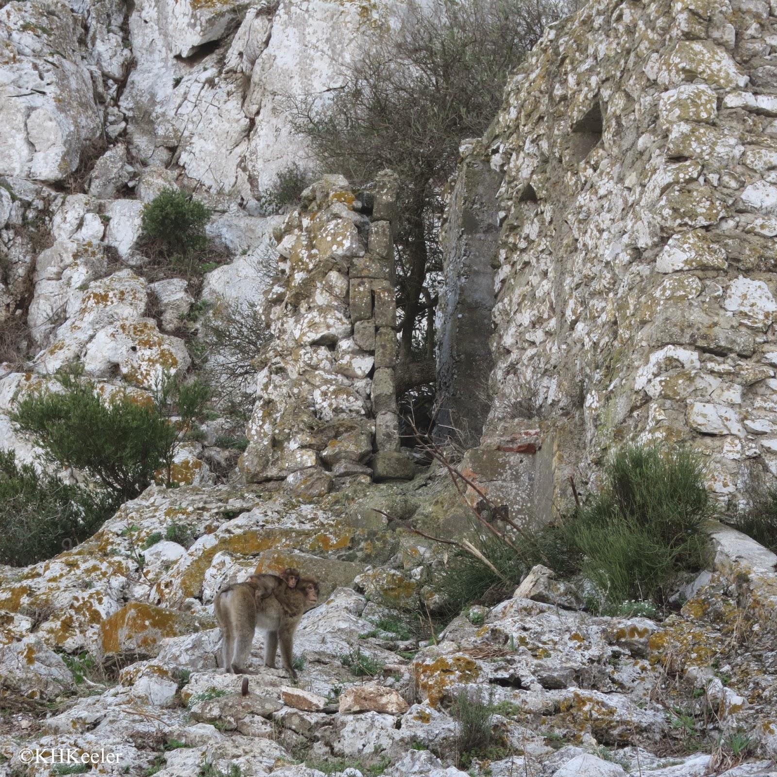 macaque, Gibraltar