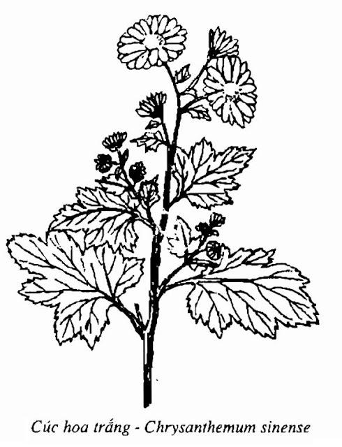 Hình vẽ Cúc Hoa Trắng - Chrysanthemum sinense - Nguyên liệu làm thuốc Chữa Cảm Sốt