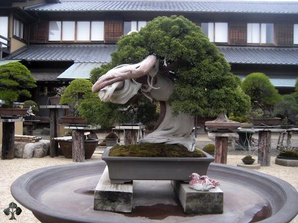 10 Bonsai Terindah dan Termahal di Dunia