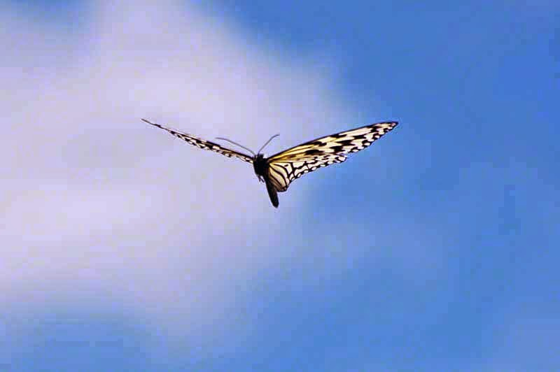 Tsuken Jima, butterfly in flight, blue skies