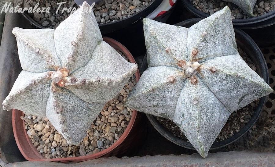 El cactus estrella (Astrophytum myriostigma)