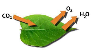 עלה הצמח נושם פחמן דו-חמצני ופולט חמצן ומים