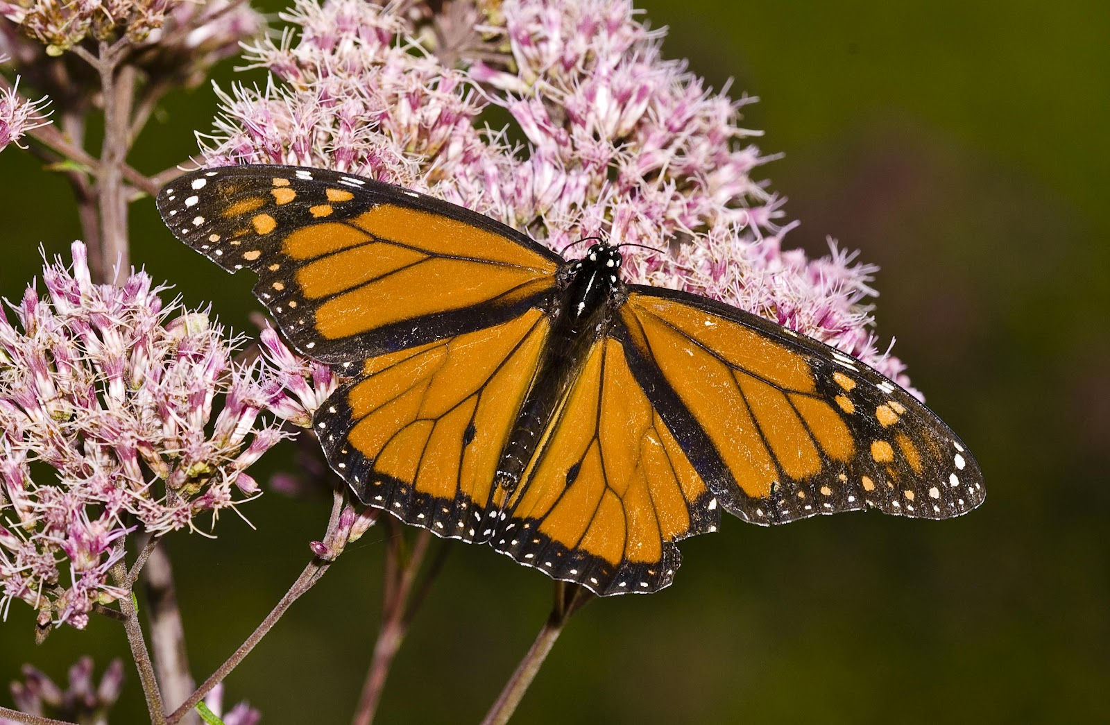 kentucky native plant and wildlife  the absolute best native plants for attracting butterflies