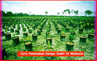 Cara Penanaman Kelapa Sawit Di Malaysia