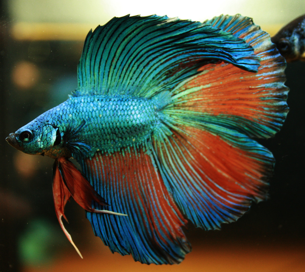 Betta Fish ~ Nice Betta