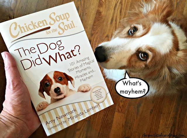 Red fluffy corgi Jon Farleigh looks up over Chicken Soup for the Soul book held by person