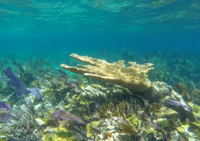 Elkhorn coral, Fowl Cay snorkeling, Bahamas