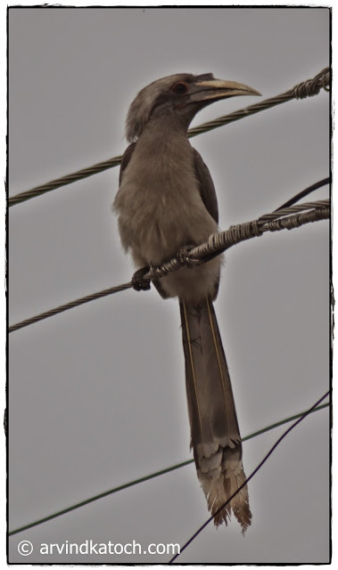 Indian Grey Hornbill, Electricity, Wire,