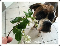 Boxer Amy mit Blüten