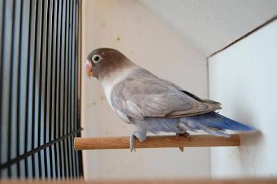 Lovebird edge single factor