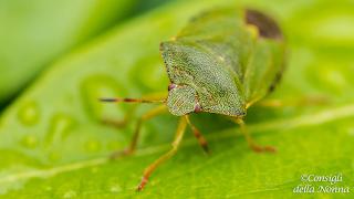 cimici verdi: i rimedi naturali per liberarsene