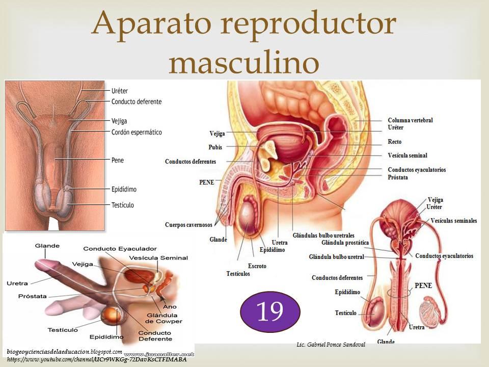 Magnífico Conductos Deferentes Viñeta - Imágenes de Anatomía Humana ...