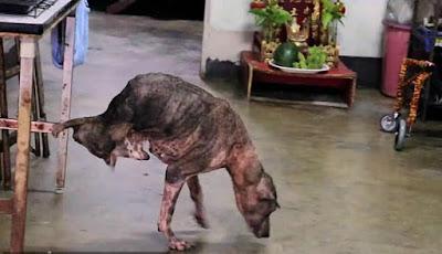 Anjing bernama Tay Tay berjalan dengan kaki depannya