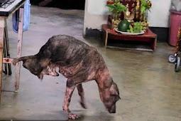 Kehilangan Kaki, Anjing Ini Tolak Kaki Buatan Pemberian Raja Thailand