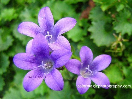 Campanula portenschlagiana - bluebell macro