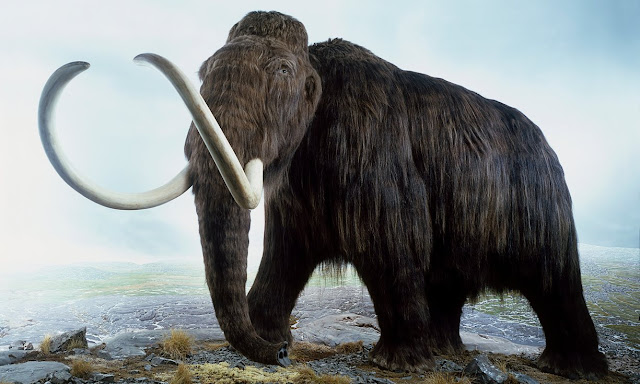 Woolly mammoth on verge of resurrection, scientists reveal