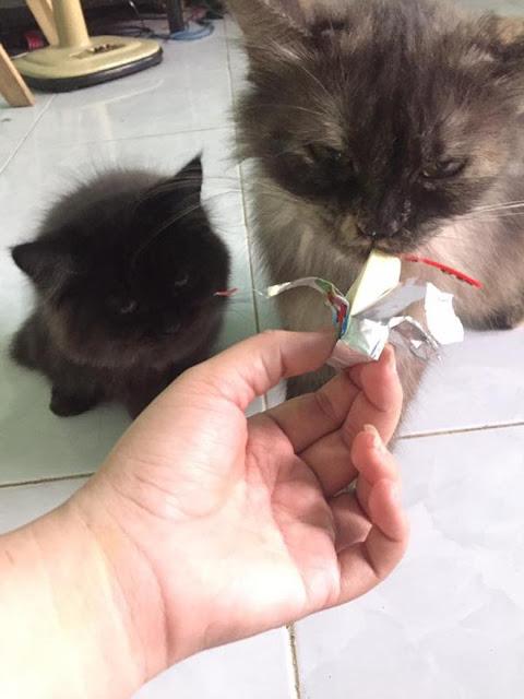 Bọn mèo cứ ăn phô mai là khóc