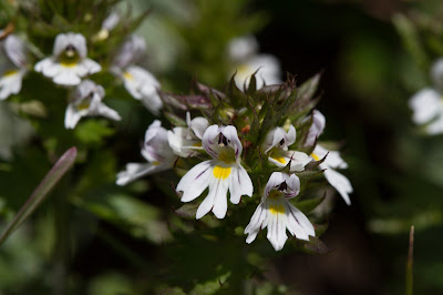 Euphrasia officinalis – Eyebright (Eufrasia officinale).