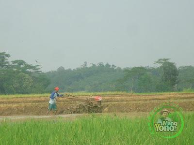 Padi Diserang Wereng, Petani Pagaden Barat Bajak Ulang Sawahnya