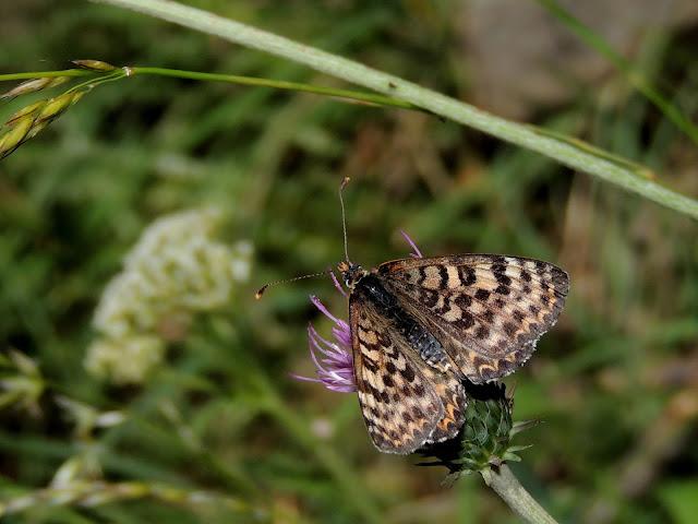 Melitaea didyma meridionalis, forma oscura
