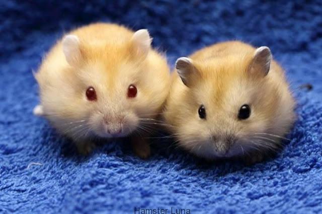 Cách nhận biết chuột Hamster đực và cái đơn giản