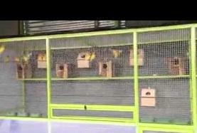 ternak lovebird sistem koloni