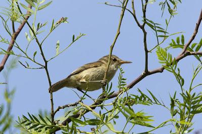 Acrocephalus brevipennis