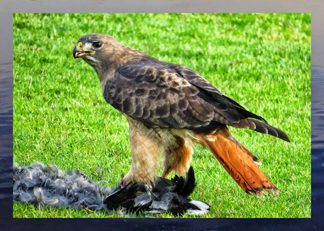 Bird watching Bay Area: Red-tailed Hawk with a kill in Shoreline Park