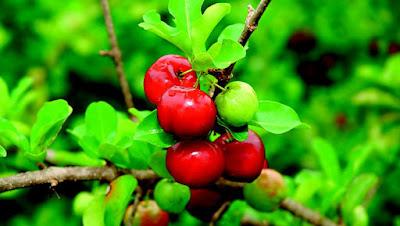 Acerola e seu cultivo