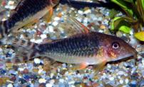 Jenis Ikan Corydoras seussi