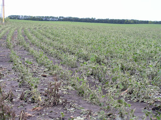 hail-damaged soybean-july7