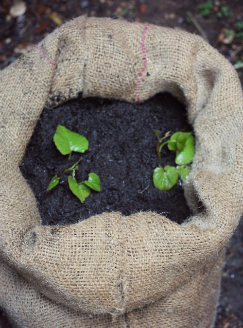 Sack O Potatoes Planting Sweet In A Bag 17 Apart