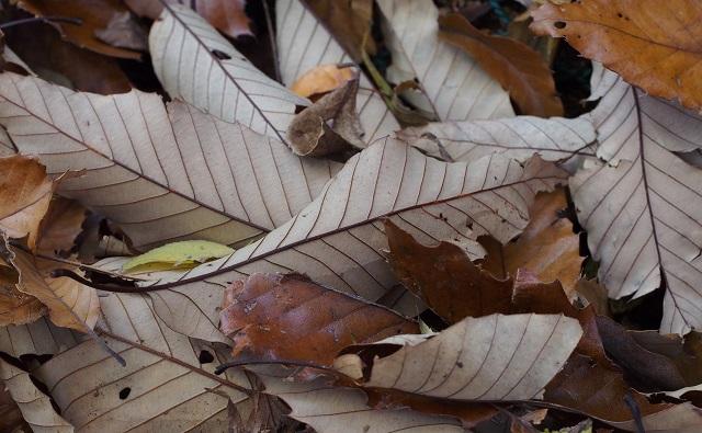 Hojas de ROBLE DE HOJAS DE CASTAÑO Quercus acutissima