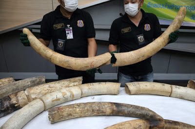 533 - Photos: Three elephant tusks, 31 ivory pieces worth almost $500,000 smuggled from Nigeria, seized at International Airport in Thailand