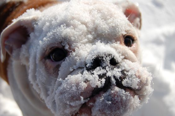Beautiful winter scene with English bulldog in snow